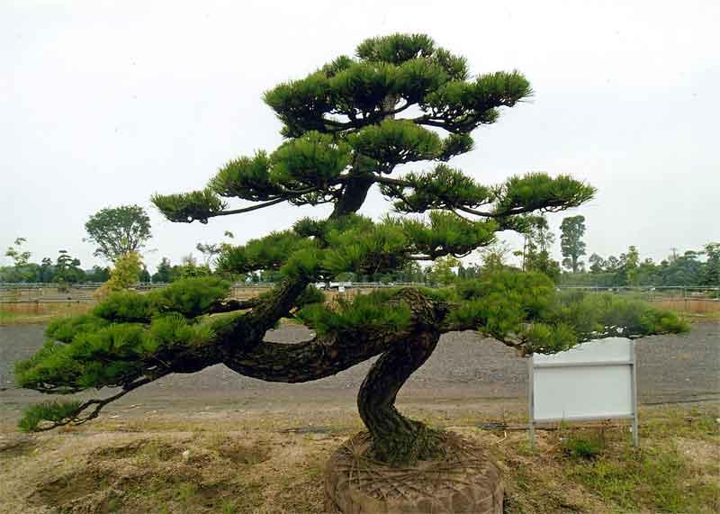 松の画像 p1_18